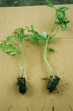 Virginia Tech tomato transplant trials with and without CharGrow BioGranules
