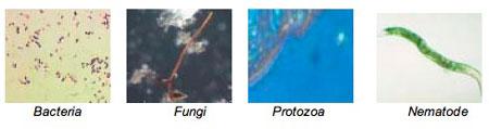 bacteria, fungi, protozoa and nematodes