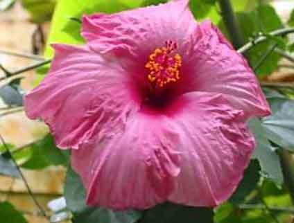 chargrow biogranules university of florida hibiscus trial
