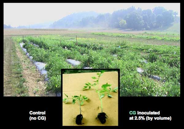 CharGrow BioGranules tomato field trails