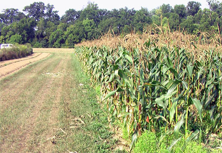 CharGrow®also helped increase nitrogen use efficiency in the corn plots