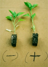 Tomato trial results with CharGrow BioGranules
