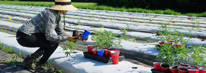 hemp trial planting by NC State University to measure vigor and disease rating with biochar