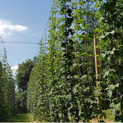 Hops crop in Virginia grown with CharGrow BioGranules
